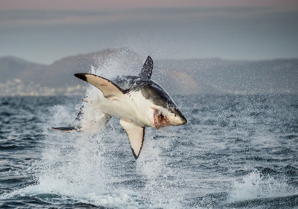 Great White Shark Experience