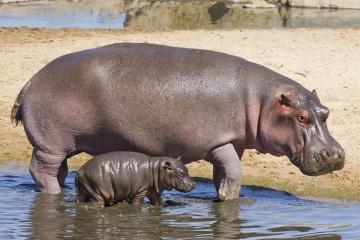 Mara Hippo Trail